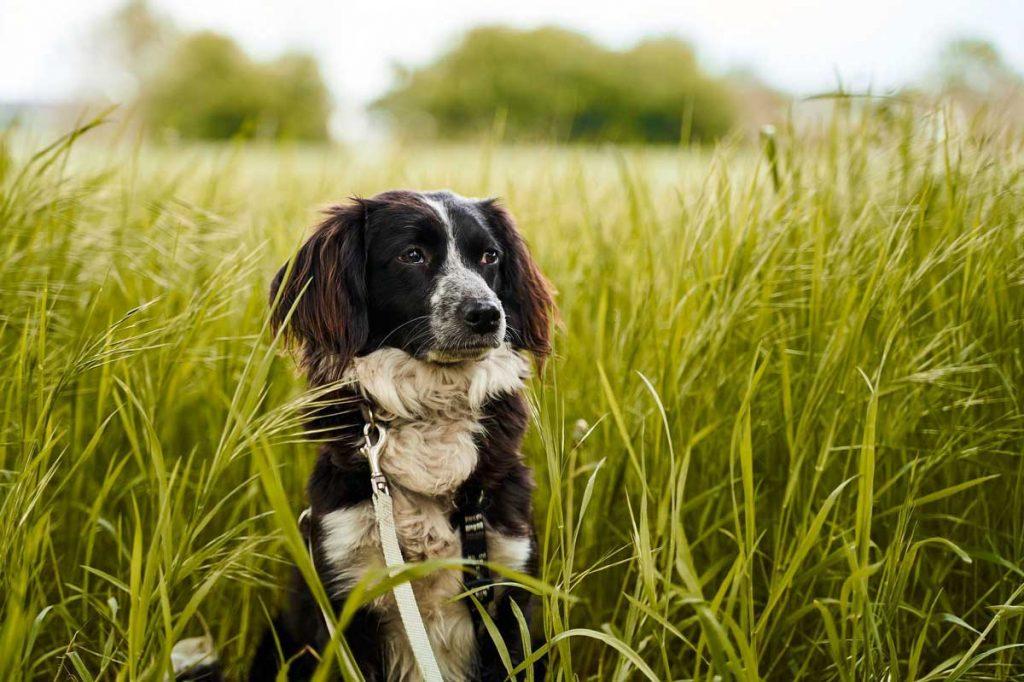 Cane antiparassitario nel campo