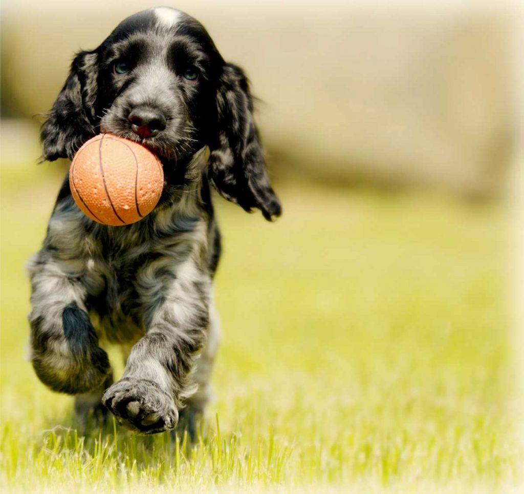 Cocker gioca con la palla